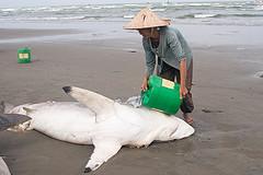 акул приморье