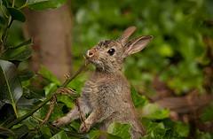 ест кролик