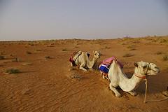 африканского верблюда