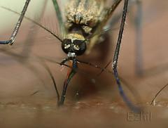 выпивает комар