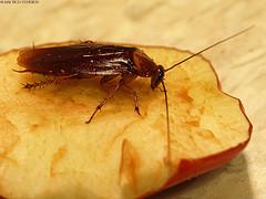 лап таракана