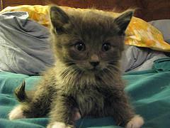 весит котенок