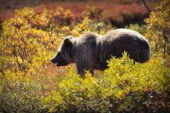 весит медведь
