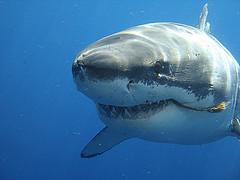 белой акулы