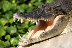зубов крокодила