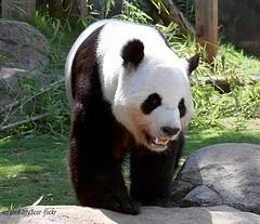 зубов панды