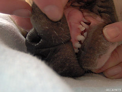 зубов собаки